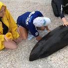 Stranded Melon-headed Whale Rescued On Florida's Gulf Coast