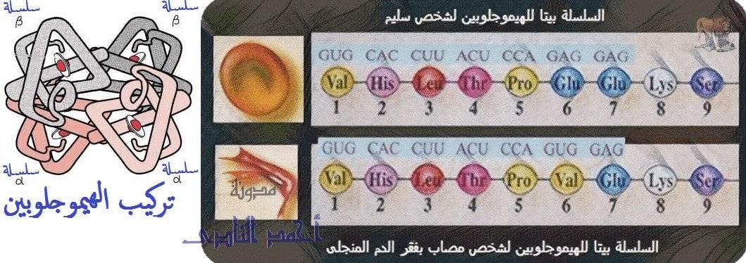 الجين – M.RNA – الشفرة الوراثية – طفرة – أنيميا الخلايا المنجلية - الهيموجلوبين-  الثالث الثانوى