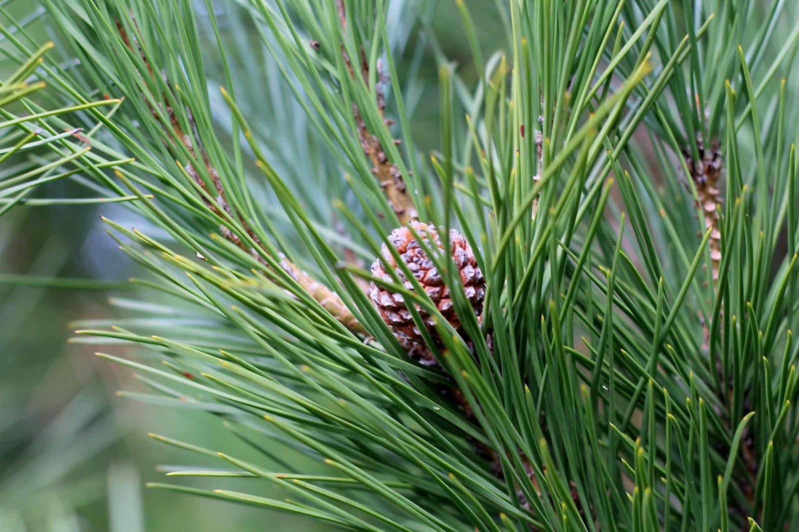 pine cone winter