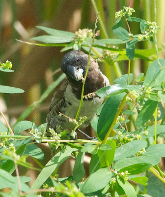 White-bellied Munia (Lonchura leucogastra)