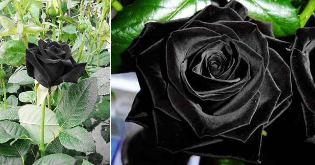 Macam Macam Mawar Beserta Maknanya - Gambar Bunga Mawar c19e2918f0
