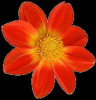 Dahlia Orange drt png