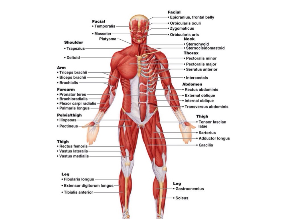 Human Body 20 Project Rvw Muscular System