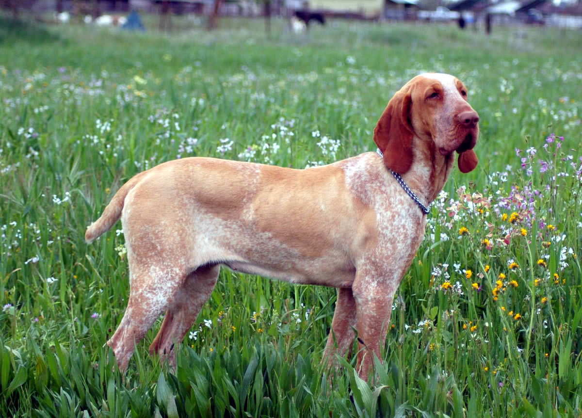 five bracco italiano dogs - photo #3