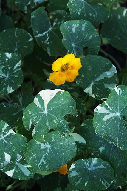nasturtiums, variegated nasturtiums, summer flowers, garden flowers, Anne Butera, My Giant Strawberry