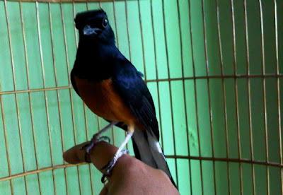 Burung Murai Batu Kalimantan atau Borneo