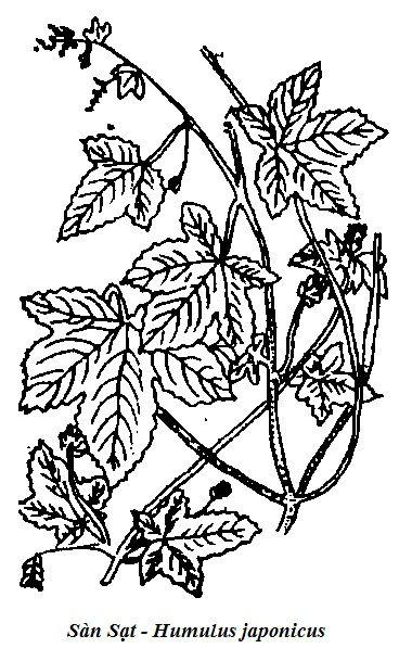 Hình vẽ Sàn Sạt - Humulus japonicus - Nguyên liệu làm thuốc Chữa Bệnh Tiêu Hóa