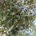 Sorprendidos dos hombres robando aceituna en Consuegra