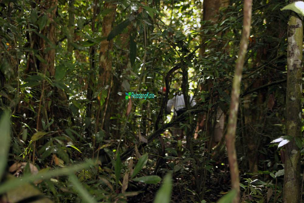 Hutan Aur Kuning, Meliau