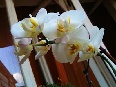 fioritura orchidea bianca