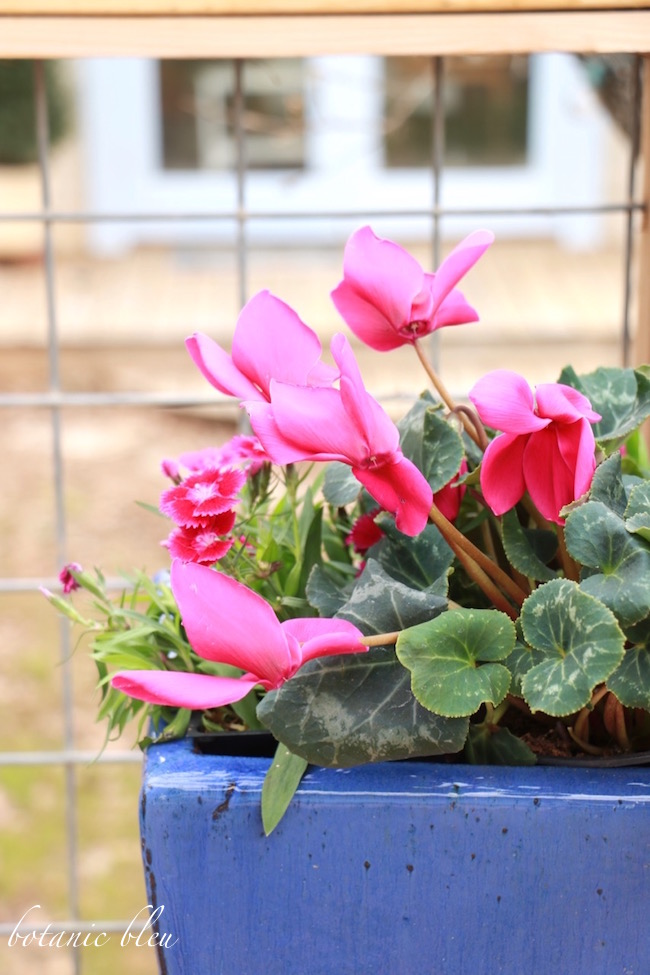 magenta-cyclamen-blue-flower-pot