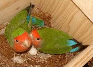 Burung Lovebird - Pemilihan Indukan Burung Lovebird Yang Harus Teliti - Penangkaran Burung Lovebird