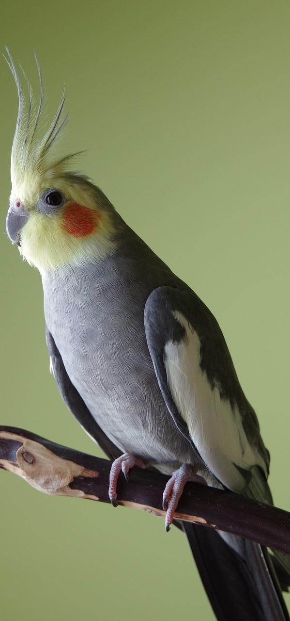 Photo of a cockatiel.