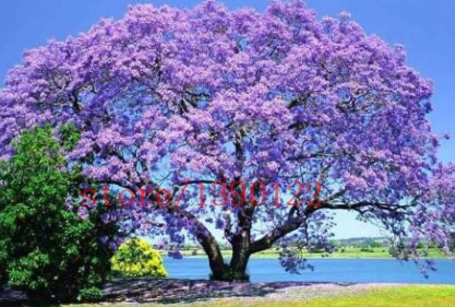 Gambar Bunga Tabebuya Ungu