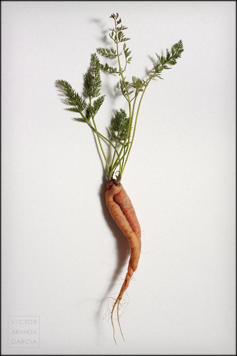 naturaleza, zanahoria, Límites, beso