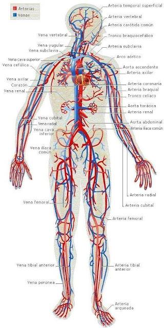 Imagen del Aparato Circulatorio a colores para niños