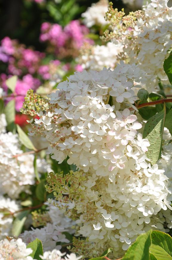 Three Dogs In A Garden Hydrangeas Care Basics Old New Varieties