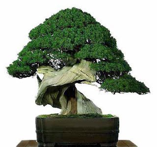 imagenes de bonsai