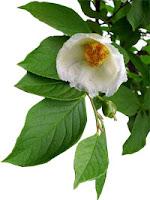 Эфирное масло чайного дерева
