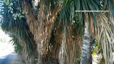 Grupo de yucas junto al camino en el Parque del Alamillo