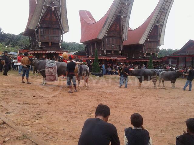 Upacara Adat Almarhum Luther Kombong, Puluhan Kerbau Dijejer dalam Ma'pasa' Tedong