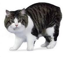Kucing Manx dan Karakteristiknya