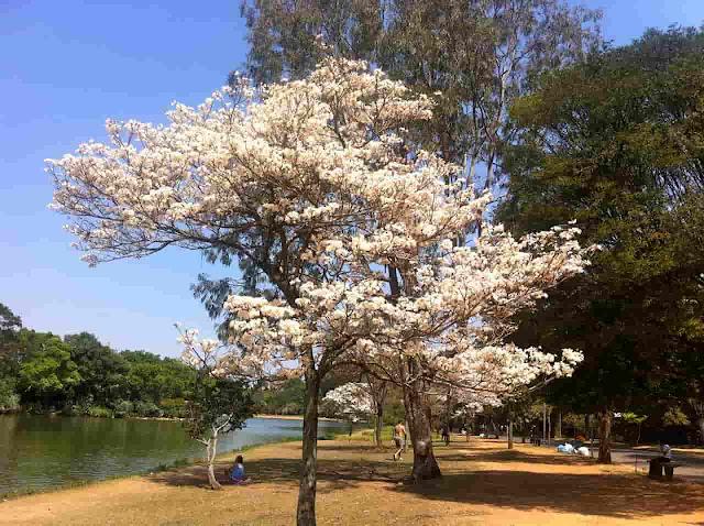 Árvores - Parque do ibirapuera