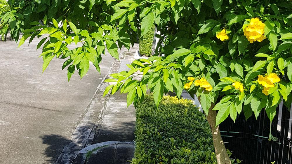 ลำต้นของต้นทองอุไร