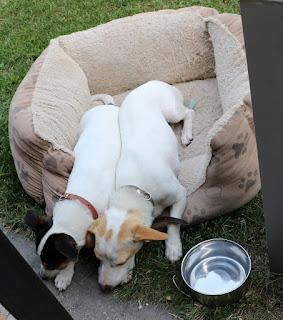 Puppies sleeping in their bed, kinda