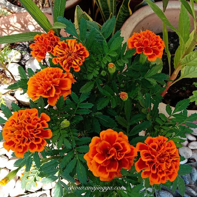 bunga tahi ayam oren
