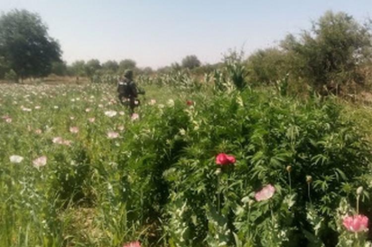Localiza la Sedena plantío de amapola en Villa Coronado Chihuahua