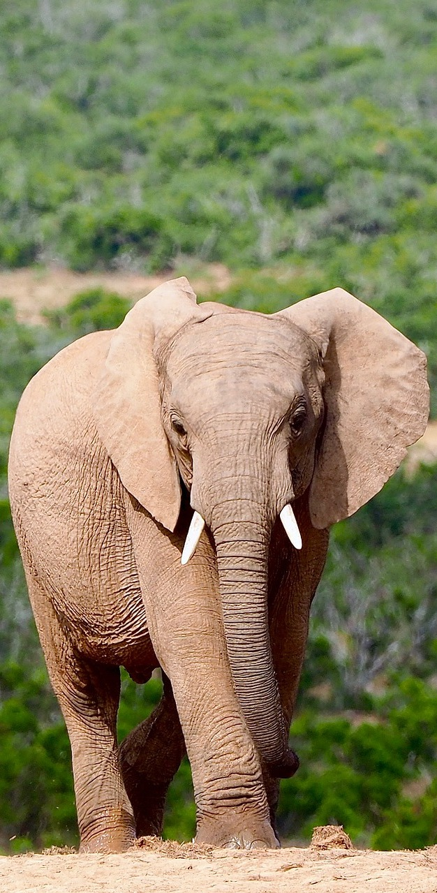 An elephant in the wild.