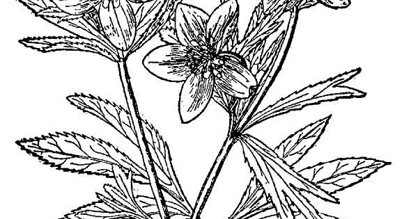 Helleborus coloring pages and printables