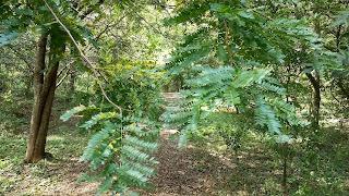 Gleditsia triacanthos (honey locust) tree leaves new orleans louisiana
