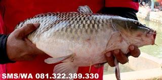Essen Aroma Sereh Untuk Ikan Mas Kilo Gebrus