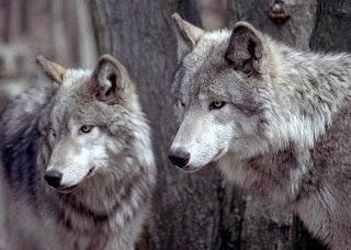 Pasangan Serigala