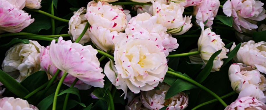 O historii tulipana, czyli podróż międzynarodowa.