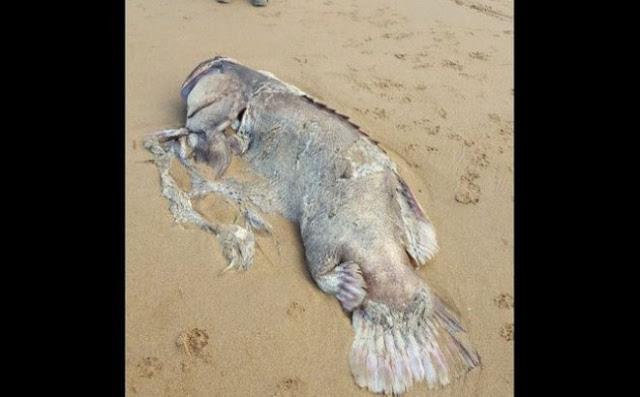 Ikan Misterius Seberat 150 Kg Terdampar di Pantai Australia