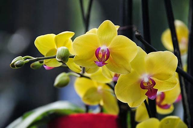 Cultivando orqu deas e id ias phalaenopsis a beleza do for Orchidea foglie gialle
