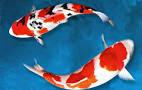 Koi termasuk dalam jenis ikan Karper Cyprinuscarpio Kabar Terbaru- 10 JENIS KOI TERBAIK UNTUK DI PELIHARA