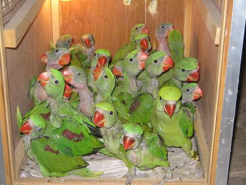 We Love Our Bangladesh Alexandrine Parakeet Or Green