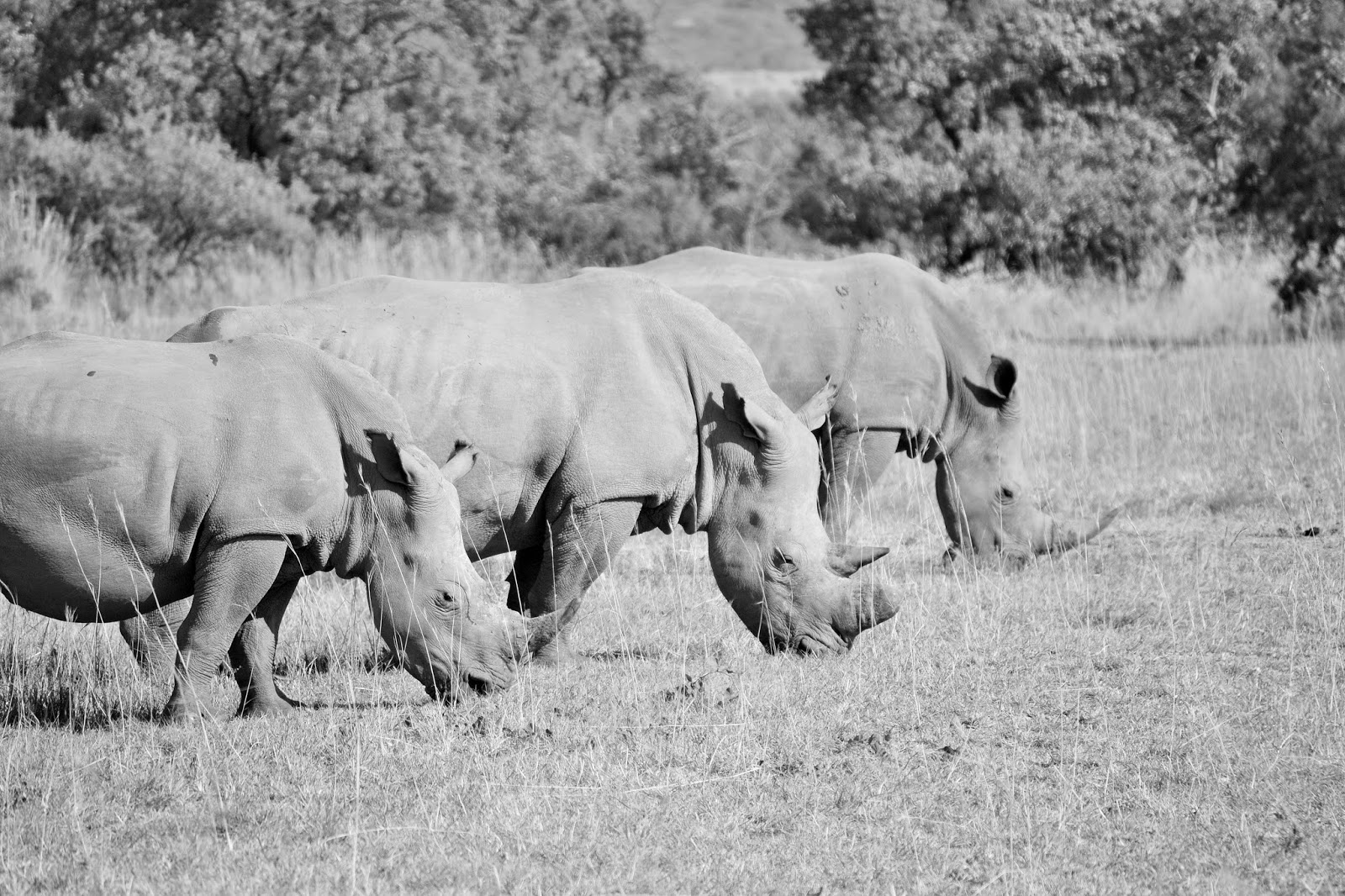 A Trio of Rhinos
