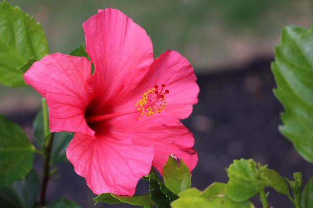 Hibiscus flower in flower island