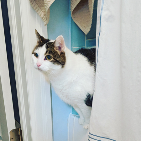 image of Olivia the White Farm Cat standing on the edge of the bathtub, peeking out from behind the shower curtain