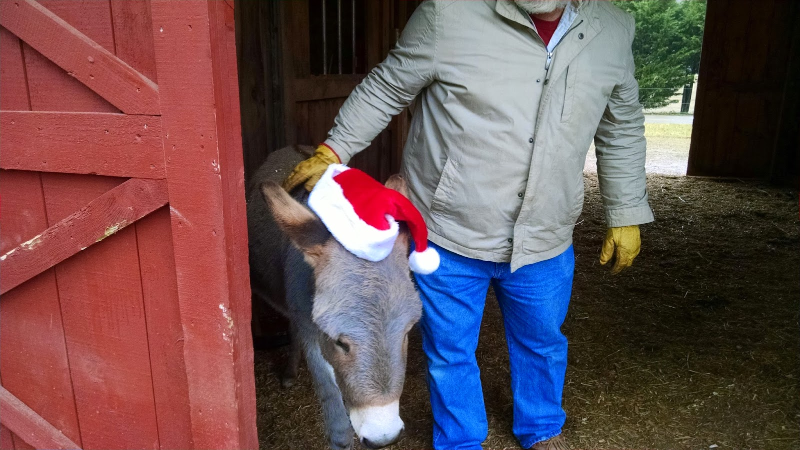 grey miniature donkey wearing red and white Santa hat