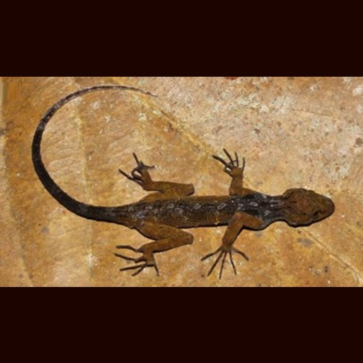 A new species of Asian rock gecko