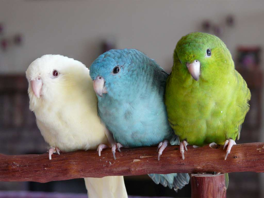 difference between budgies and parakeets
