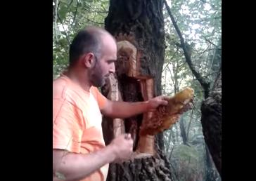 Κυνήγι άγριου μελισσιού: Ξετρύπωμα από κορμό δέντρου VIDEO