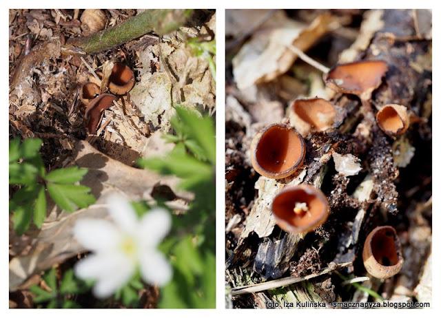 grzyb, grzybek, pasozyt, na zawilcu, zawilce, wiosna, wiosenne grzyby