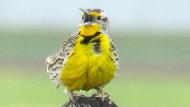 Western Meadowlark Song